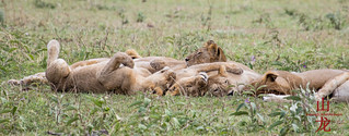 How many lions? | by DragonSpeed