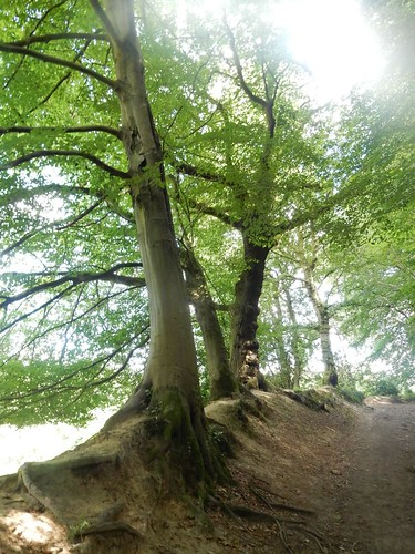 Hedgerow beech | by moontiger