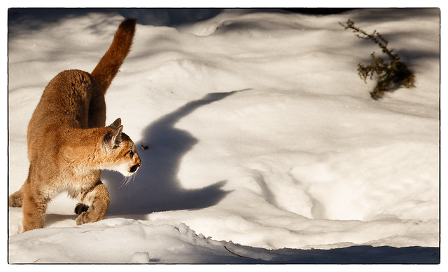 cougar cub 001