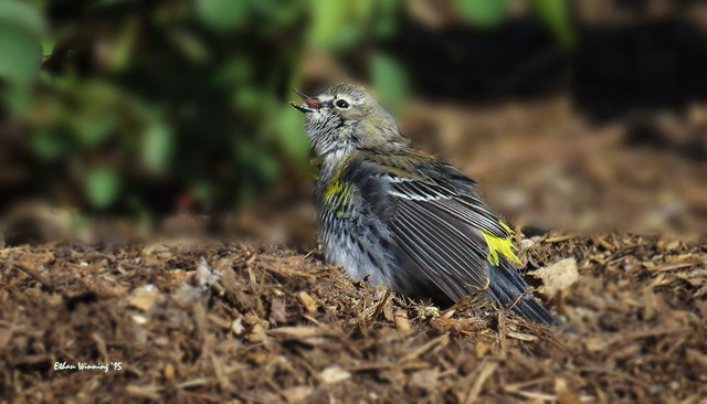 Male Yellow-rumped Warbler   2356