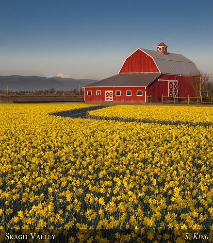 red yellow barn mt baker farm valley skagit daffodils