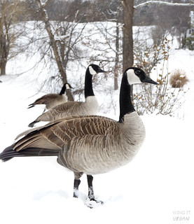 Which goose is the biggest? | by River (Wing-It Vegan)