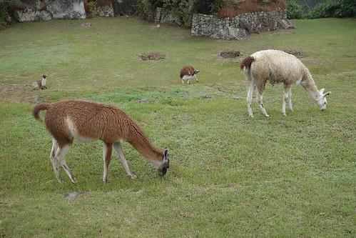 Machu Picchu - Rasenpfleger