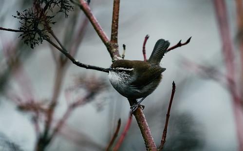 dualiso bird depthoffield wildlife pacificnorthwest nisquallynationalwildliferefuge canoneos7d canonef100400mmf4556lisusm branches nature bewickswren