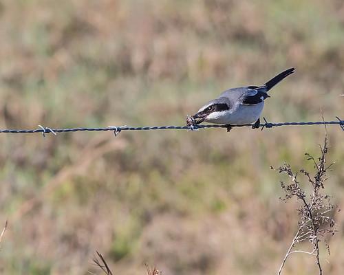 Loggerhead Shrike - Butcher Bird | by Andy Morffew