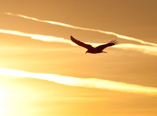 sunrise river salinas montereycounty vulture turkeyvulture nwp salinasrivernationalwildliferefuge