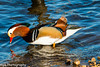 Mandarin Duck, (Aix galericulata)_Kings Mill Reservior by Mick PK