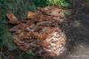 20161002-IMG_8739 Hen Of The Woods Fungi Escarpment Wood Between Hidcote And Mickleton Gloucestershire.jpg by rodtuk