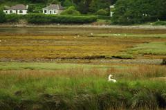 Lochranza swan