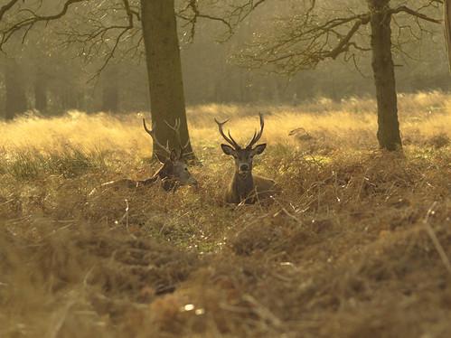 Deer in Richmond Park 3 | by George Turner