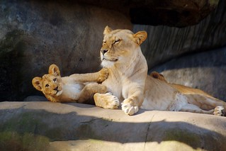 Lioness with cub born in September 2014