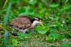 Jacana spinosa by jquental