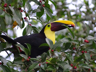 Black-Mandibled Toucan | by Beany Birder