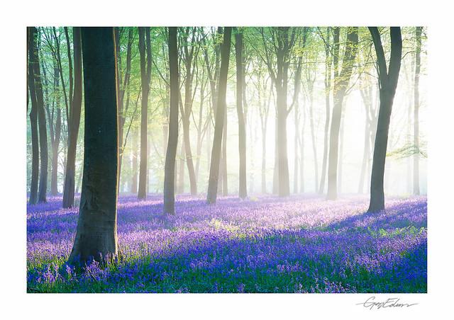 Micheldever Bluebell Dawn