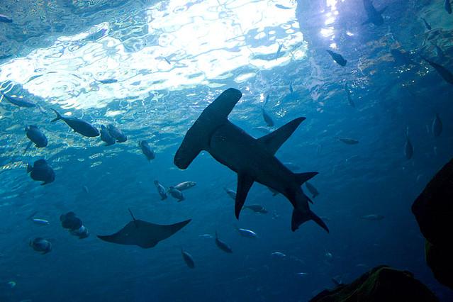 Tiburón martillo en islas Galápagos