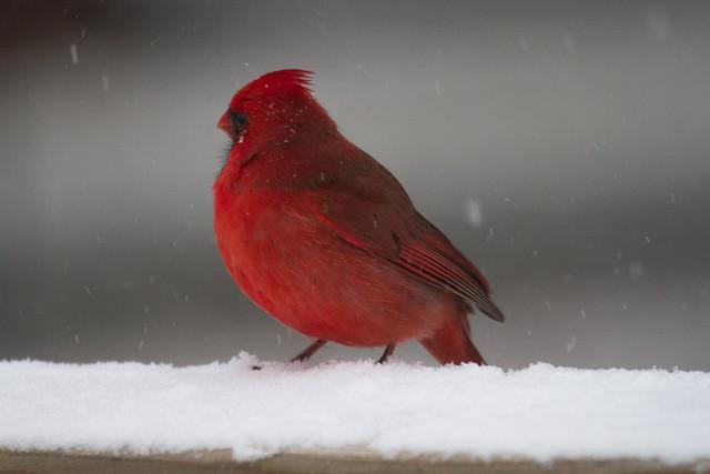 cardinals in snow-3.jpg