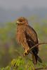 Indian Spotted Eagle #80 by SrikanthRajan