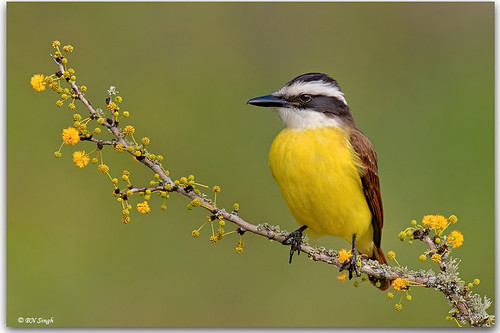 Great Kiskadee | by BN Singh