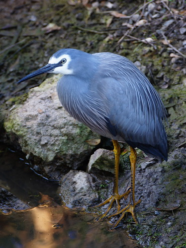 White-faced Heron, USC Sippy Downs