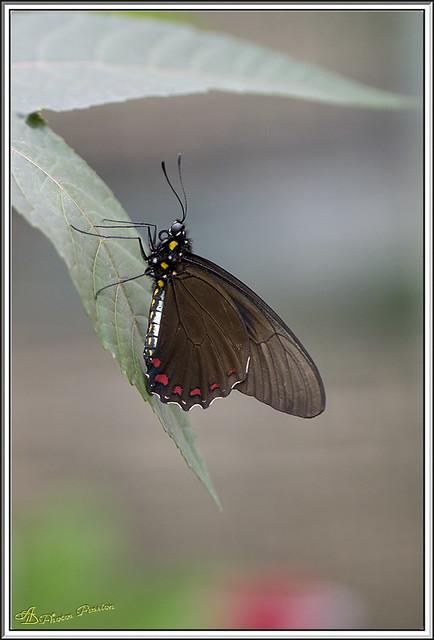 Ferme aux Papillons AD-04