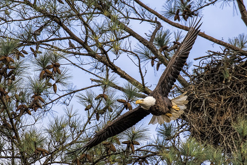 Bald Eagle Berry Female 4 | by Jason Blalock