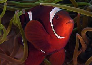 012_adj_DSC_7252 spinecheek anemonefish