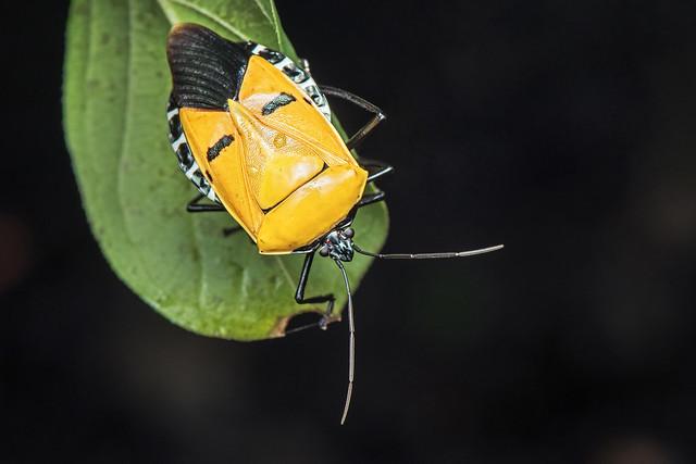 Man-faced sheild bug