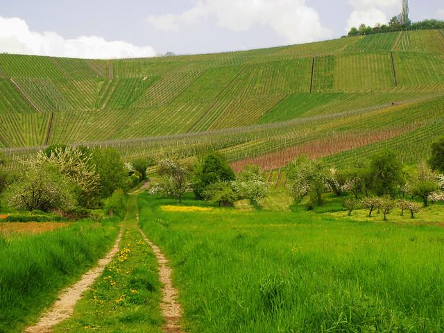 Way to the vineyard