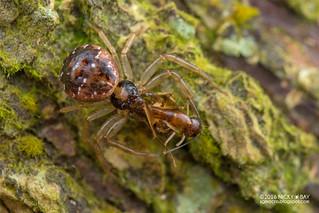 Crab spider (Philodamia sp.) - DSC_1553