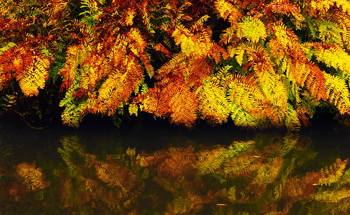 rhswisley ferns autumn gold colour seasons autumnleaves