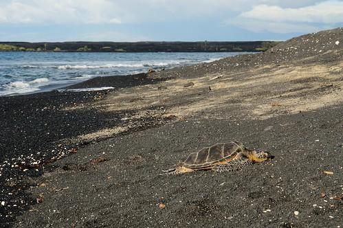 beach blacksand hawaii turtle sleepy seaturtle greenseaturtle hauledout turtleslava2014 kihilobay