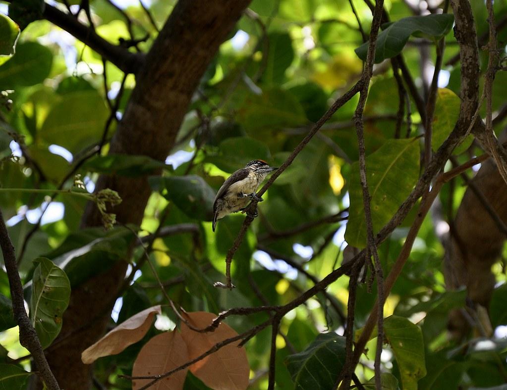 Pica-pau-anão-da-caatinga (Picumnus limae)