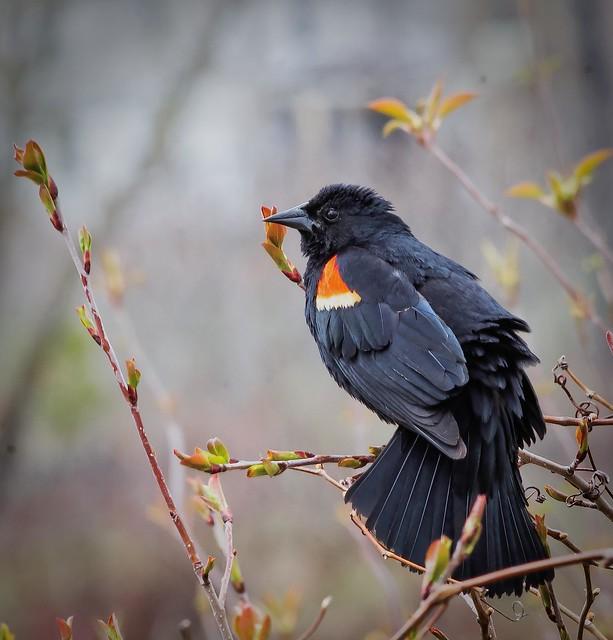 Carouge a épaulette ---   Redwinged blackbird --- Tordo sargento