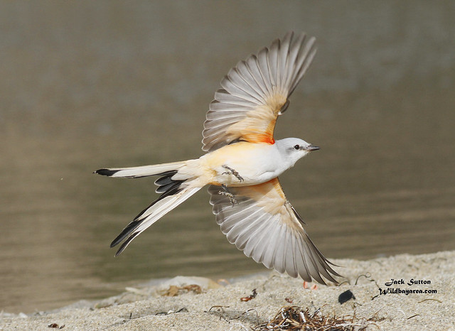 Can you guess why I'm called a Scissor-tailed Flycatcher?