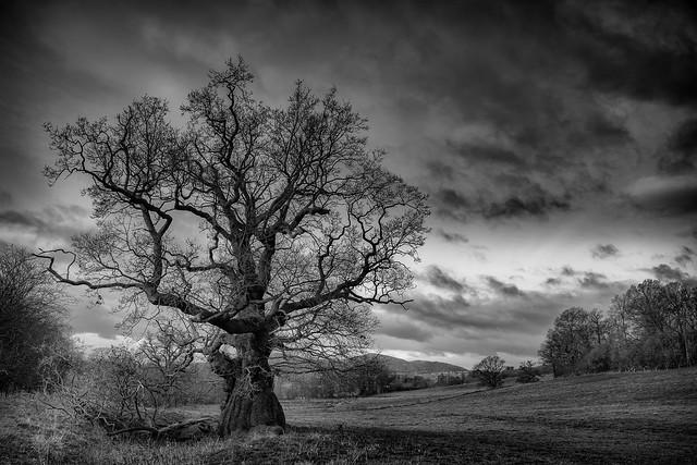 2014 Old Hills - Old Oak Tree