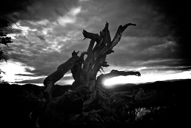 Mt Falcon Sunset Pine in B&W