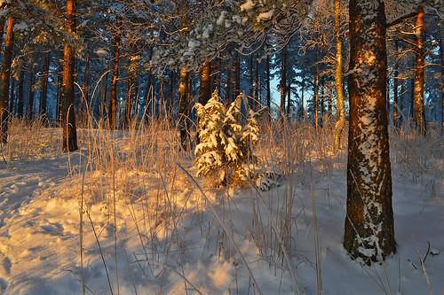 winter snow wood forest suomi finland trees nikon sunlight cold frost view landscape nature luonto lunta maisema metsä metsämaisema light d3200 nikond3200 europe lahti