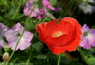 bee on red poppy in the garden - Shibpur Botanical Garden #Kolkata   by moon@footlooseforever.com