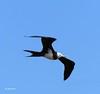Ascension Frigatebird by upperwinskill