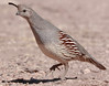 female Gambel's Quail by NatureNM