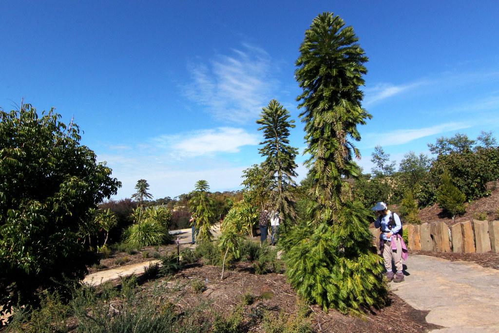 Wollemia Nobilis, Wollemi Pine Trees In Cranbourne Botanic ...