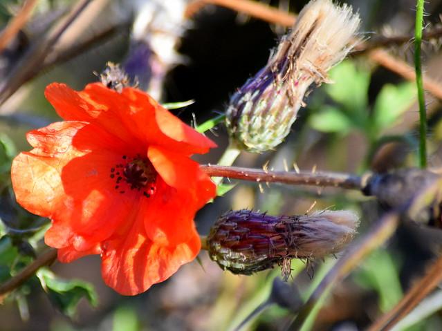 Last Poppy
