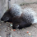 Giant porcupines