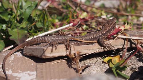 Lizard   by ALİ KAYA(amasseia)