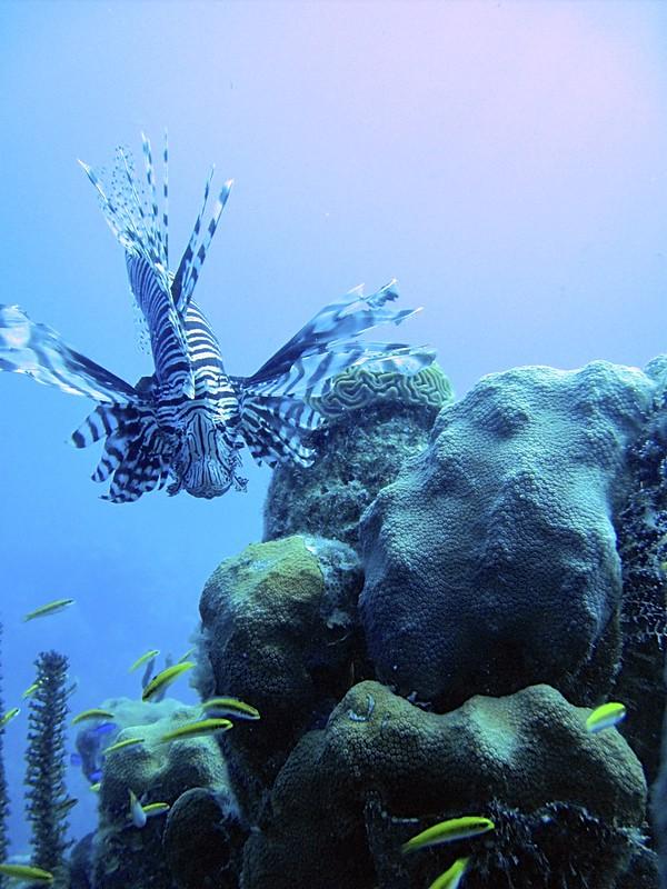 Turks & Caicos Lionfish 2009