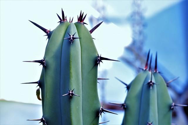 cactus columnar