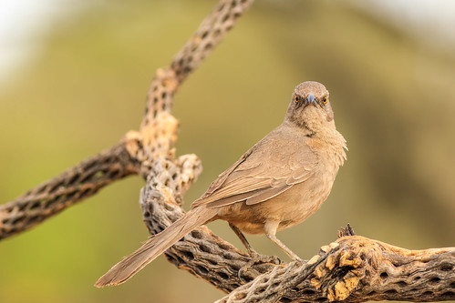curvedbilled thrasher bird animal arizona vail wing cactus cholla wood perch perched green garden ngc flickrelite sky stick explore explored eos ef400mm56l eyes desert common canon view tail talons tree twig bokeh beyondbokeh beak brown branch 5dmarkiv