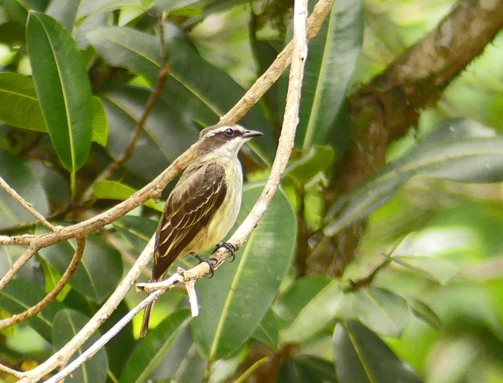 Atrapamoscas Pirata, Piratic Flycatcher (Legatus leucophaius)