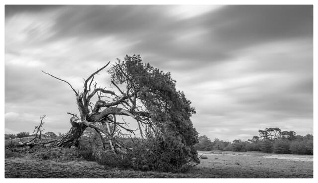 Broken Pine #2