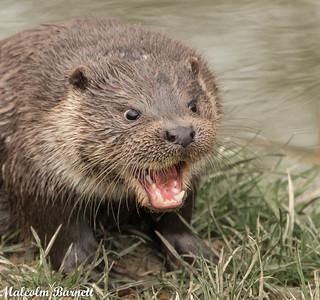Otter_1819